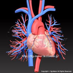 human-anatomy_heart.jpg